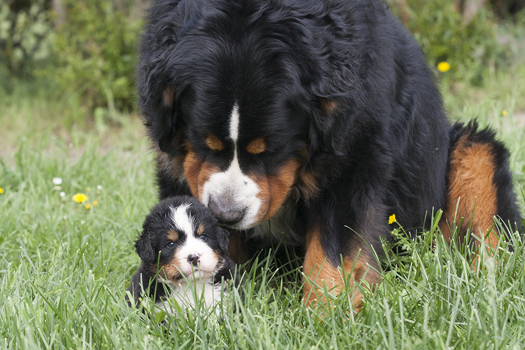 Tino con cucciolo di Bovaro del Bernese del Sacro Fiume